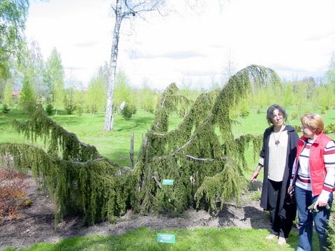 Arboretumo puošmena - įspūdingos formos paprastasis kadagys.